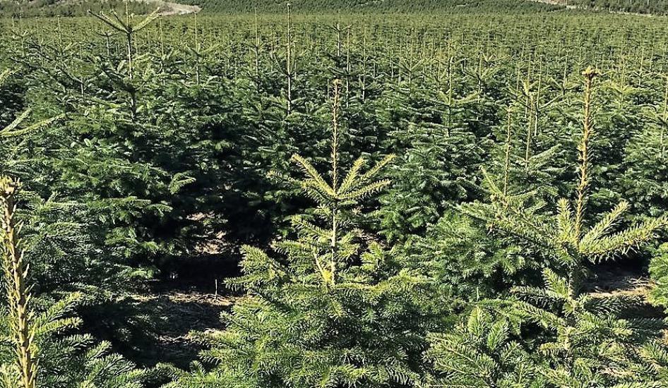 Weihnachtsbäume Holstein präsentiert: Weihnachtsbaum Plantagen beim WNordmanntannen Produzent