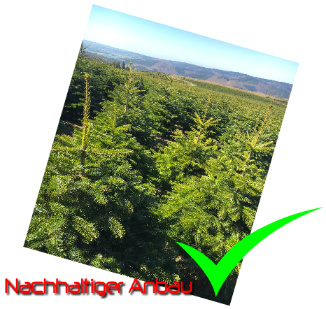 Nordmanntannen kaufen beim Weihnachtsbaum Hersteller