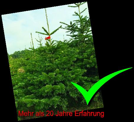 Weihnachtsbäume kaufen vom Weihnachtsbaum Produzent