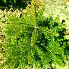Eigene Weihnachtsbaum Produktion: Weihnachtsbaum Jungpflanzen kaufen