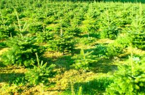 Der Weihnachtsbaum Hersteller: Weihnachtsbäume Verkaufen ab Feld