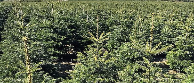Weihnachtsbäume kaufen beim Erzeuger: Björn Lau präsentiert seine besten Weihnachtsbaum Plantagen online