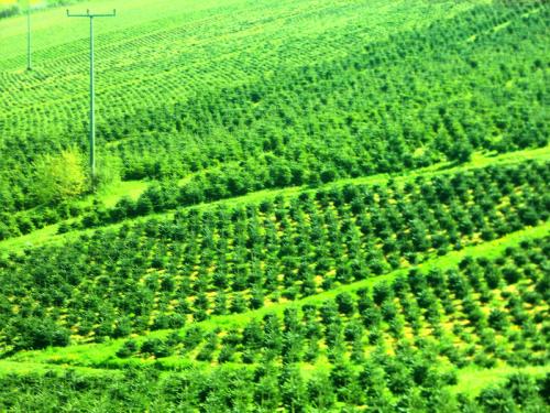 Tannebäume haben einen phänomenalen Entwicklungsprozess